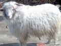 辽宁绒山羊品种性能介绍