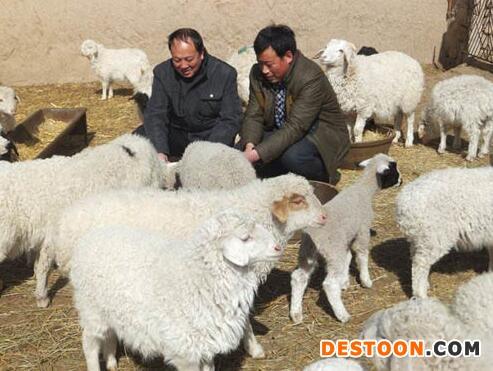 肥羔羊育肥