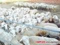 """养羊故事:花果山养羊专业合作社带领更多村民""""发羊财"""""""