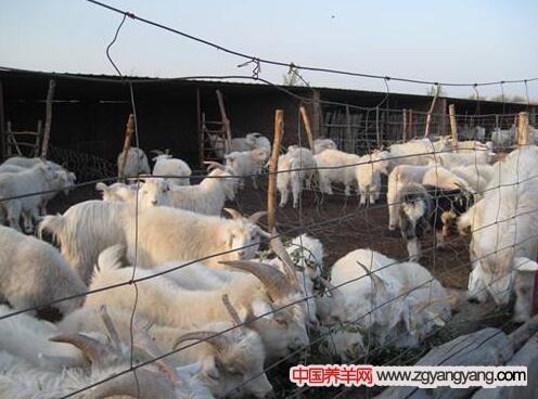 陕北白绒山羊