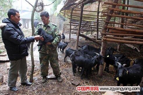 农村养羊存在有哪些误区?