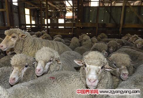 中国美利奴羊