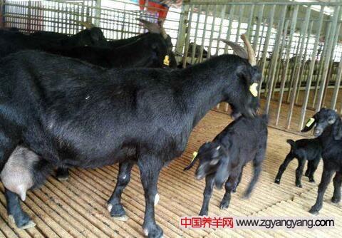 提高黑山羊养殖的产量