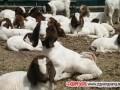 如何提高波尔山羊养殖的效益?