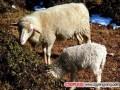 半细毛羊从出生到育肥的饲养管理技术
