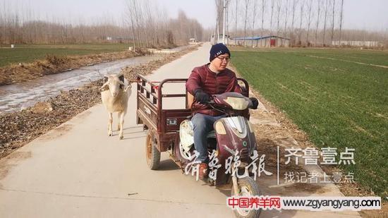 用摩托三轮车遛羊,村民已习以为常。
