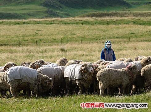鄂尔多斯细毛羊的配种和产后的饲养
