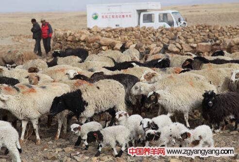 西藏岗巴羊羔饲养