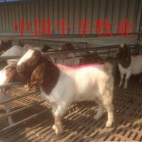 波尔山羊_种羊【山羊羊苗最新价格】山羊送到家多少钱一斤
