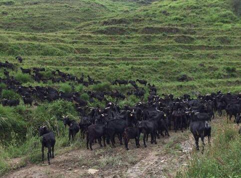 高脚羊的场舍和养殖规模