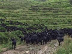 怎样规划高脚羊的场舍和养殖规模?