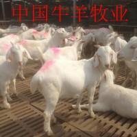 美国大白山羊_纯种白山羊_种羊长势快_繁殖多好饲养