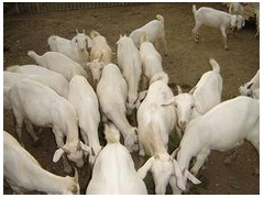 羊的正常体温、脉搏、呼吸和反刍次数是多少?测定的方法