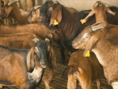 养殖努比山羊如何防止品种退化?
