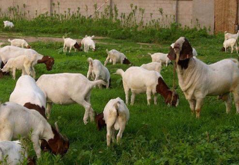 波尔山羊口疮病的防治方法