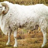 专业培育种羊