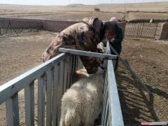 乌兰察布市察右后旗开展种羊春季防疫工作