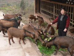 养羊户怎样放牧和舍饲湘宴黄羊?