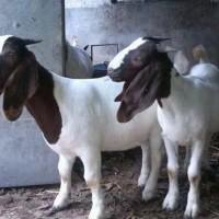 纯种波尔山羊美国白山羊养殖