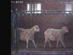 奥群肉羊智能体尺测量系统上线
