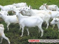 新手养羊:哪种基础母羊可以购买呢