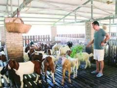 养羊故事:张名军夫妇逆袭生活从养羊开始