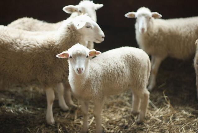 绵羊的生活习性