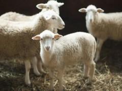 养羊知识拓展:绵羊的生活习性如何?