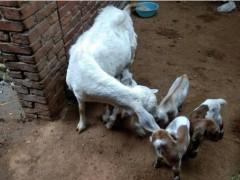 母羊不让小羊吃奶了,母羊不认小羊的三类原因
