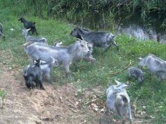 冬季太行山羊怎样饲养不掉膘?