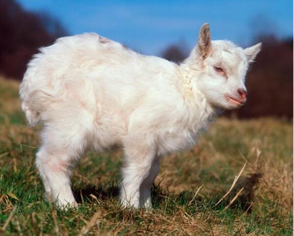 山羊冬季怎么安全越冬