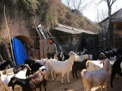 养羊最难管理的环节,羔羊养殖的知识点