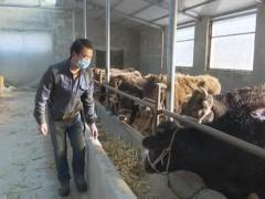 大力推进牛羊育肥业,畜牧养殖鼓起群众钱袋子