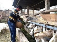 农村养羊,选种母羊要谨慎的地方,避免养殖风险