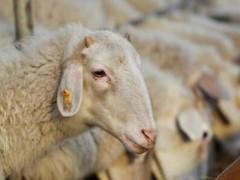 养山羊还是养绵羊?别纠结!