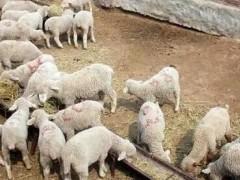 过了五一,下半年羊价到底啥情况?