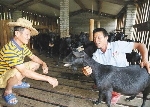 农民养种羊实现高产