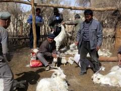 农户养殖新疆绒山羊,有一种组群的方式很好
